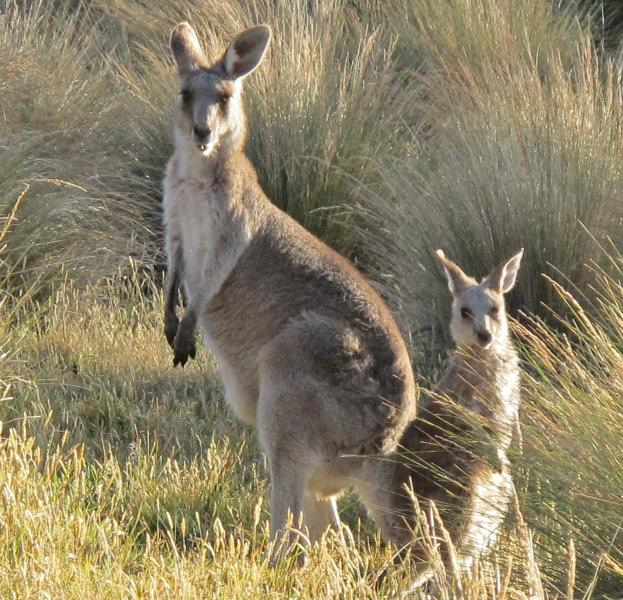 Wildlife abounds at Tower-hill volcanic reserve, one hour west.