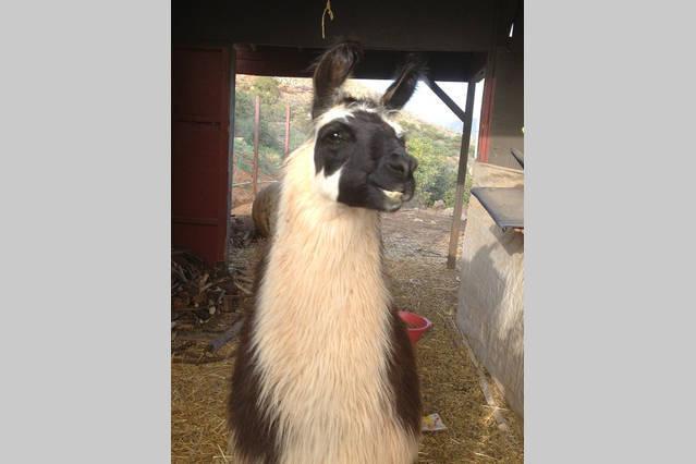 Couscou de vrije uitloop Lama.