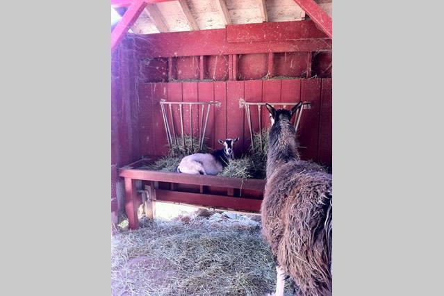 Lama observeren geit loungen in zijn feed schotel.