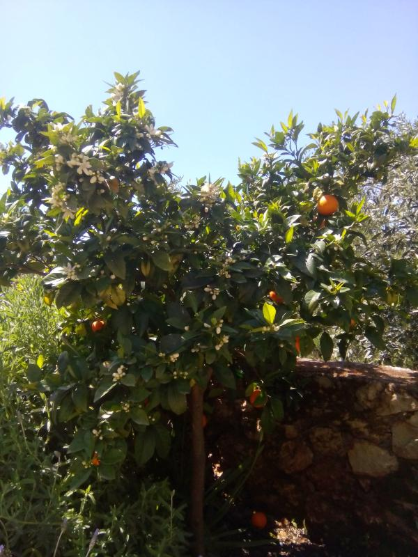 The villa has two orange trees as well as the olive grove