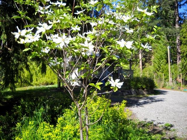 North Star dogwood in flower; the cottage is named after this species
