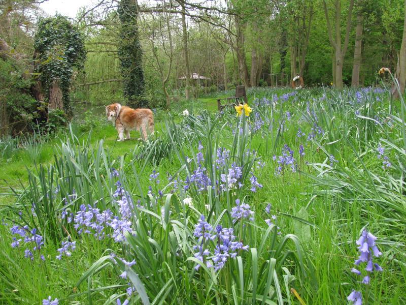 bluebell time in the garden