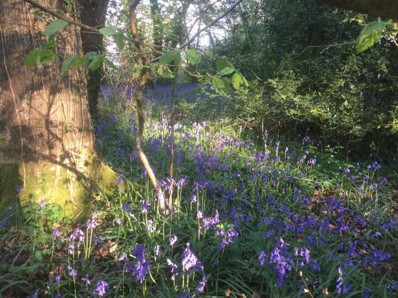 The bluebells are out!