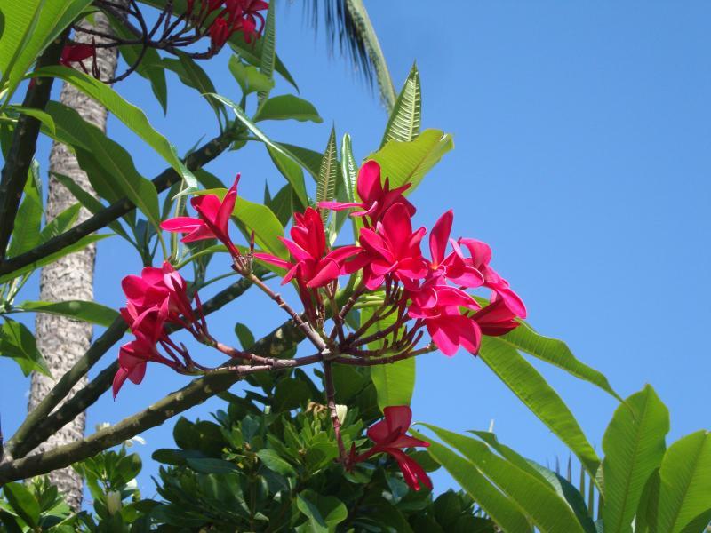 fleurs de frangipanier.