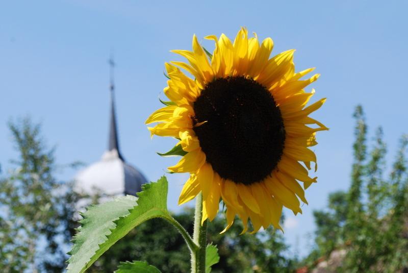 sunflower in Melay