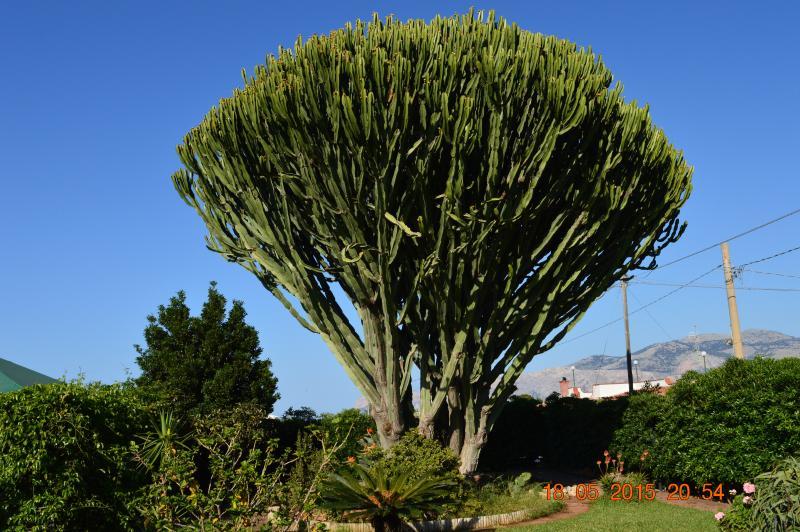 Cactus gigante in Villa