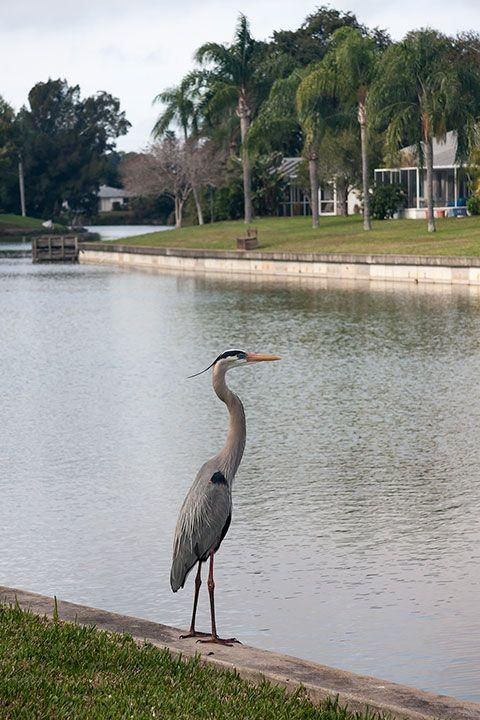 Great Blue Heron: One of many daily visitors