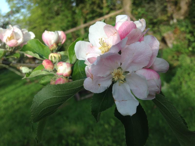 Apple blossom!