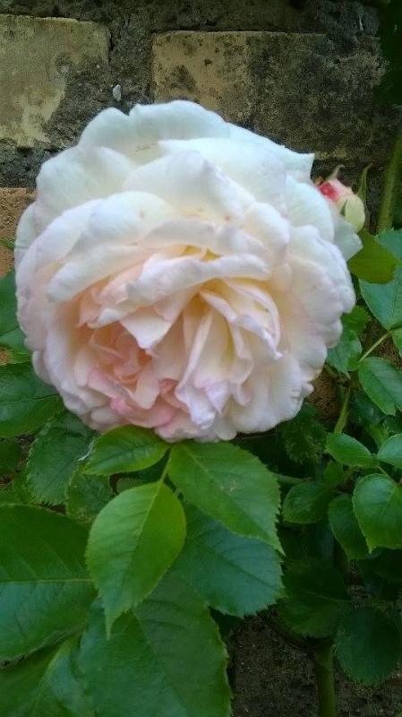 Jane Austen Roses