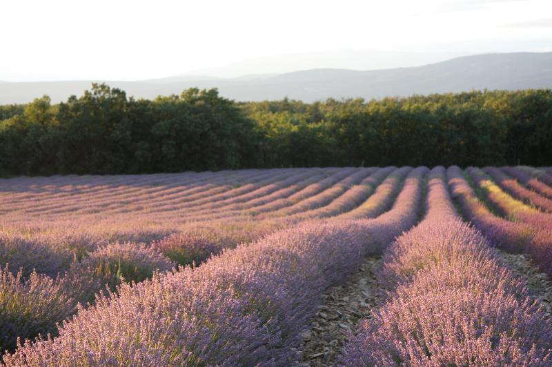 The lavender fields in full bloom as seen from the house (2 metres away)
