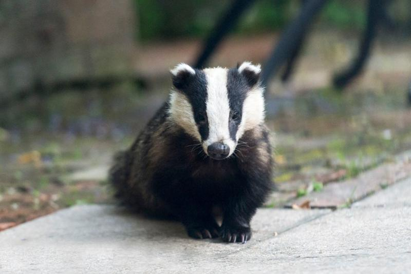 One of our badgers- they are regular visitors in the evening. Photo taken by a guest.