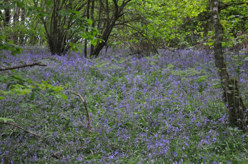 Bluebells in one of the local woods