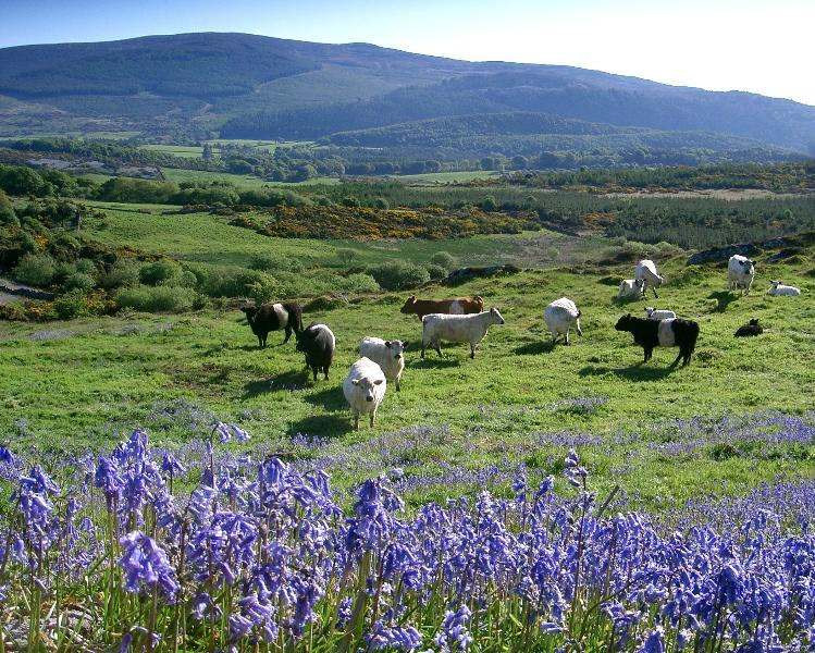 The farm's Galloway cattle graze amongst the bluebells in the spring.