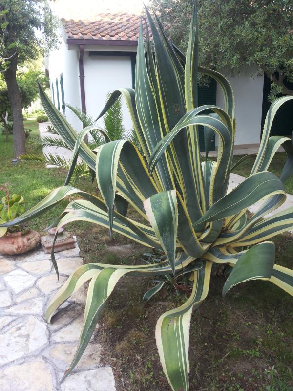 Vi presento l'agave!