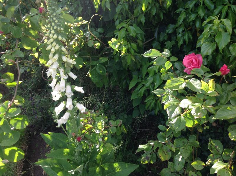 White foxgloves live exactly where they decide to live in our garden.