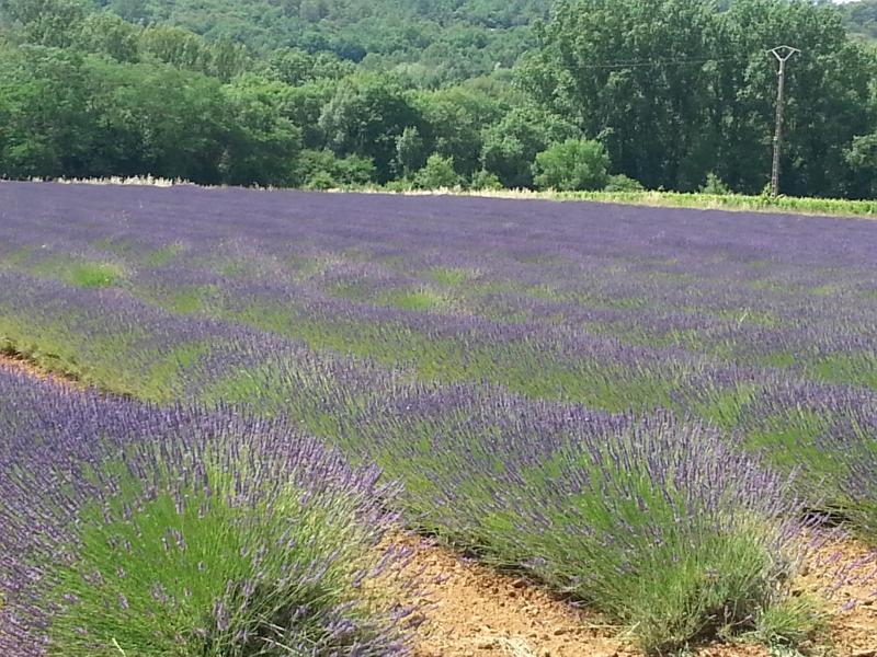 Der Lavendel blüht, verzaubert die Landschaft und die Sinne.