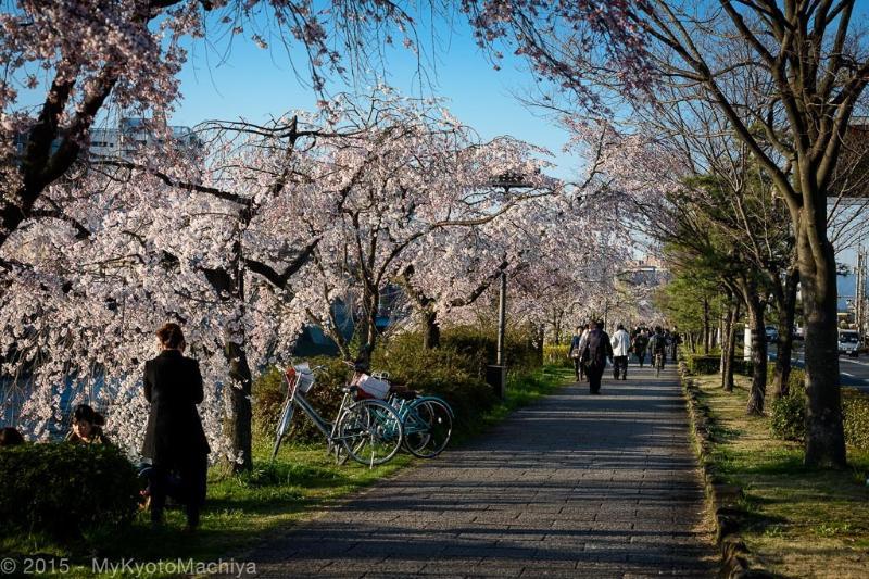 Cherry blossoms along the Kamogawa River
