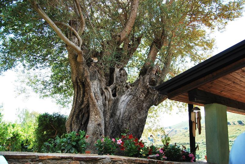 centuries-old olive