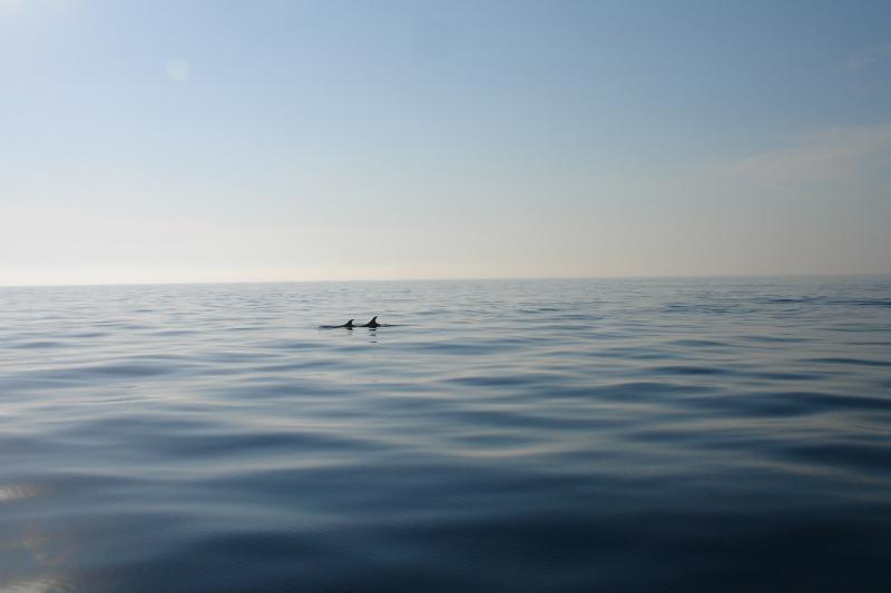 dauphins à Girolata près de Calvi