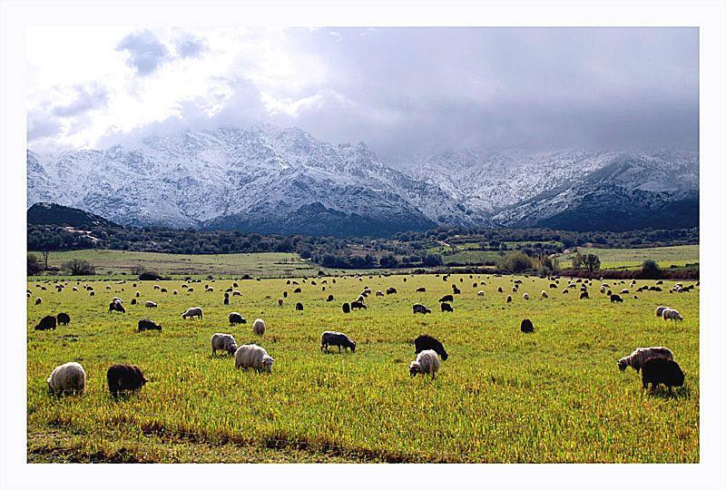 troupeau de mouton au pied de Calenzana et montagne ennneigée