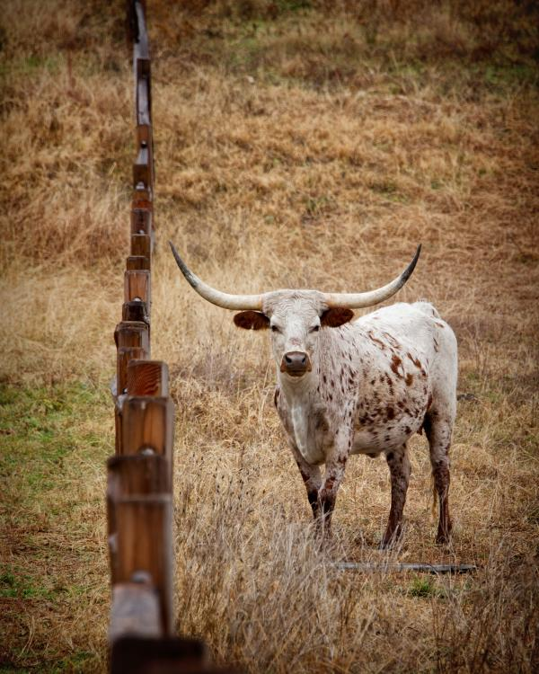 Lakota, un de nos inscrits longhorns.