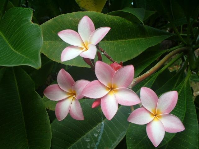 our beautiful plumeria flower