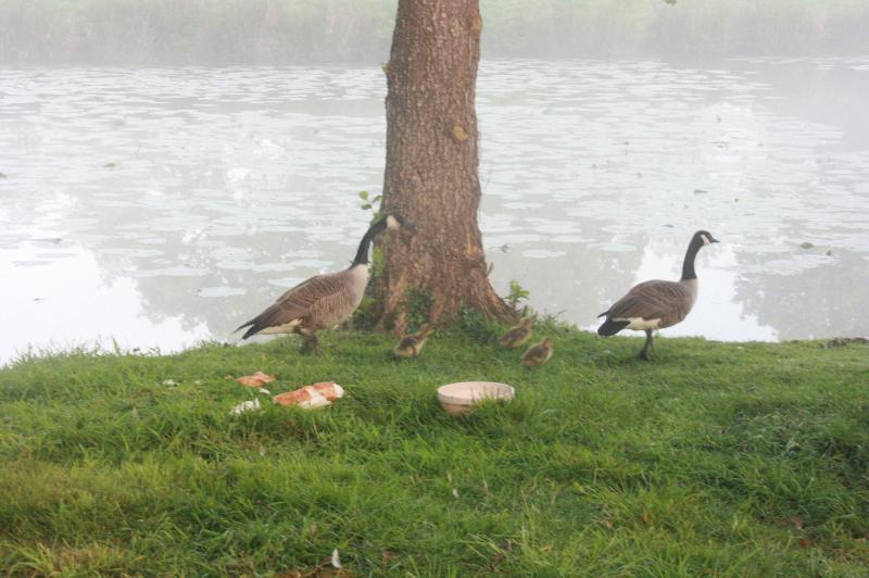 des oies sauvages qui séjournent chaque année et parfois plus lorsqu'il y a des naissances