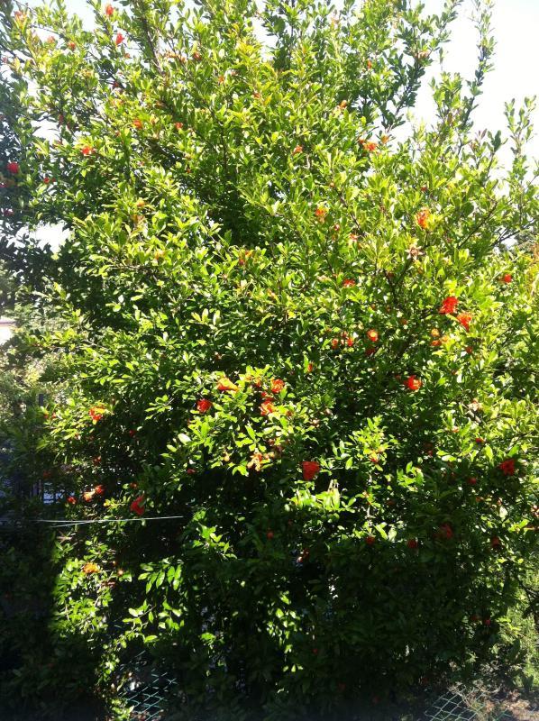 Pomegranate in the garden!