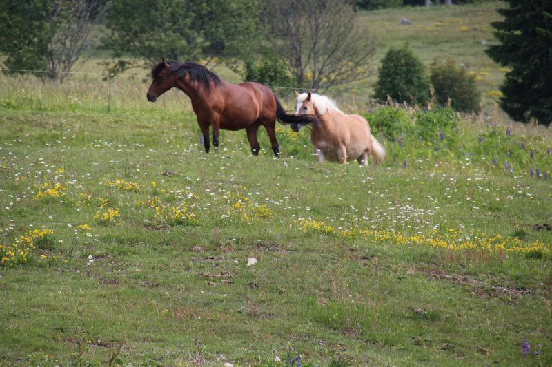 Pferde auf der Koppel in Todtnauberg