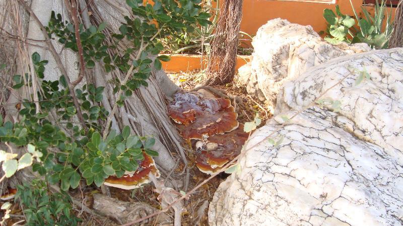 Ganoderma Lucidum  (Reishi Mushroom) on the property