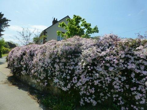 Our clematis in full bloom