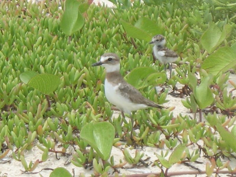O forse conoscere i pivieri sulla spiaggia - questo prendere foto in giugno quando i più piccoli si schiudono