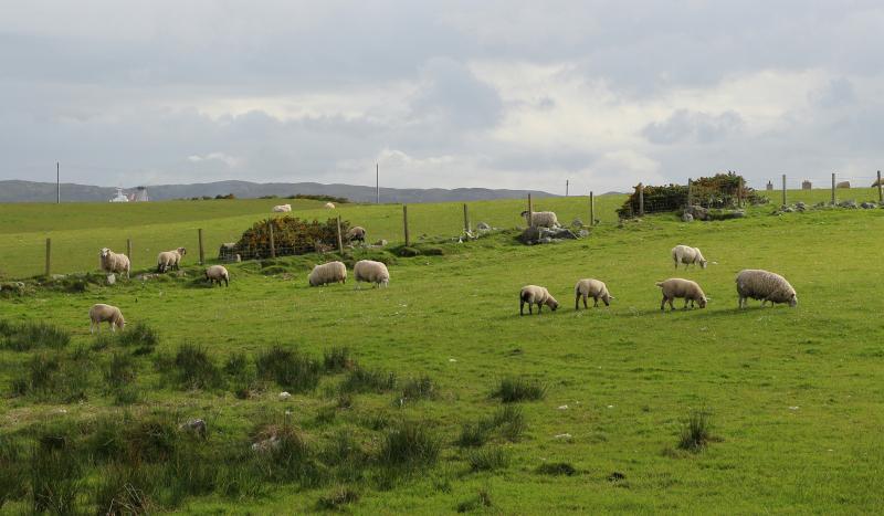 Ovelhas pastando na fazenda