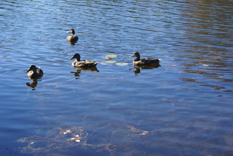patos en Canal de Trent