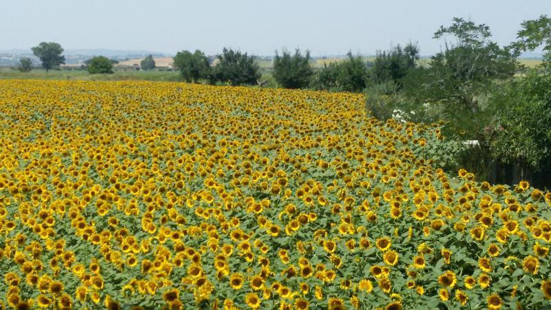 Sonnenblumenfeldern rund um
