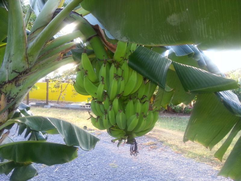 Banano orgánico crecido