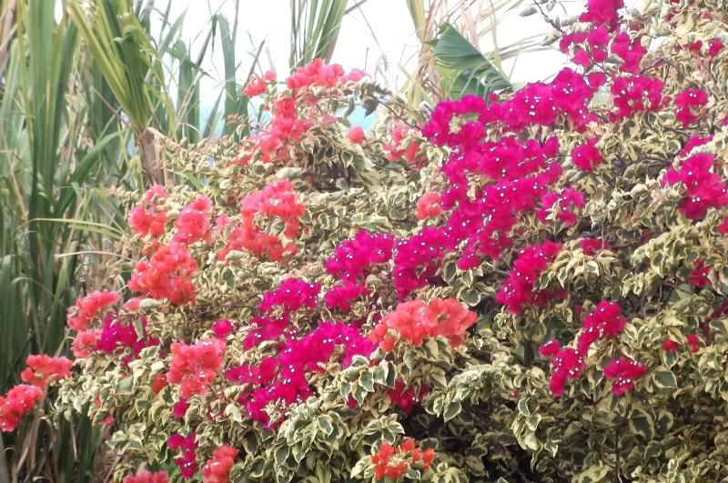 Bougainvillea in our lush gardens. You can sit on the picnic table or grab a chair.