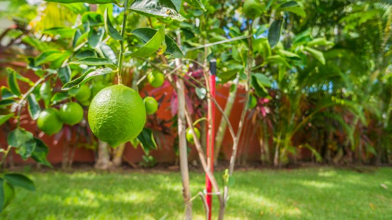 Pick limes (in season) for your favorite salsa