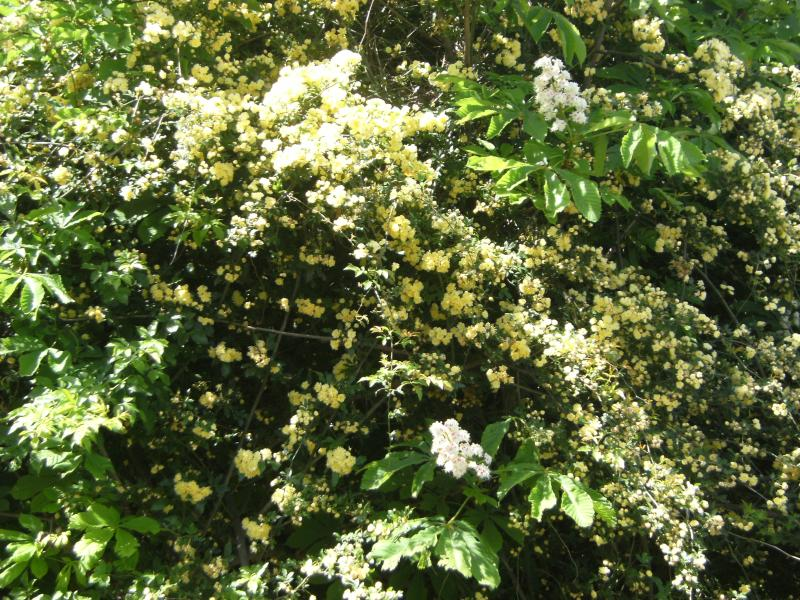 CEST the month of may! the banks rose to taken from asseau the Wakil for y meler its scented flowers.