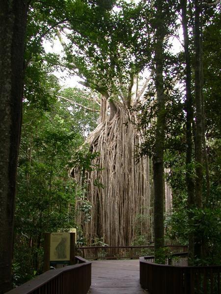 Yungaburra curtain fig tree