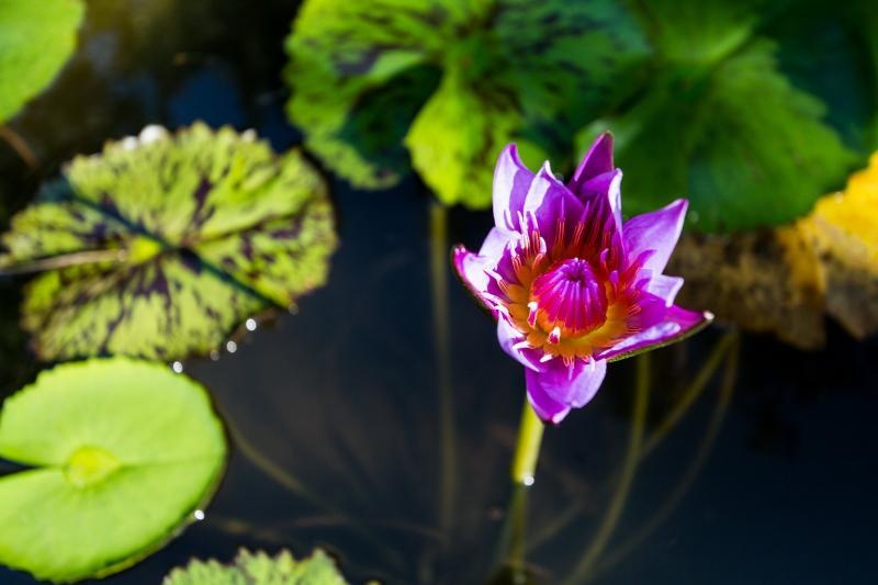 étang avec fleur de lotus dans le jardin.