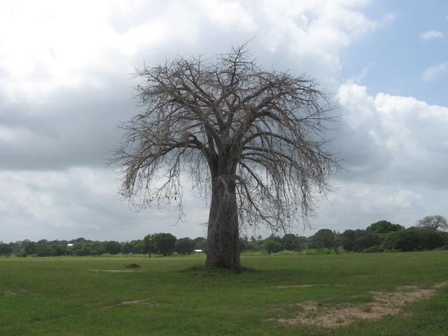baobab albero magico dell'africa