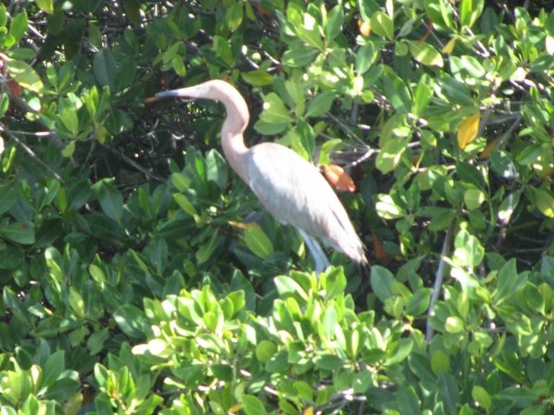 Garza en los manglares.