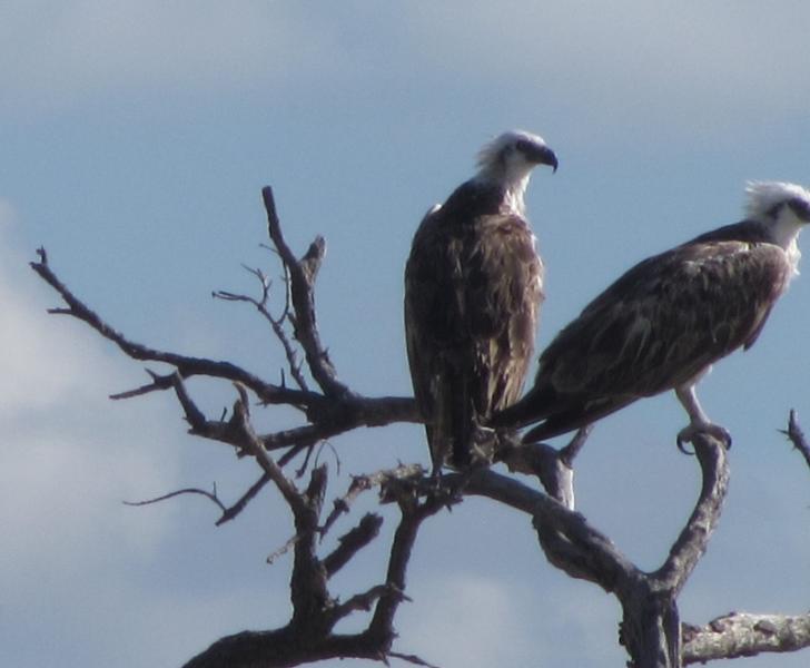 Águila pescadora con jóvenes en arroyo sur.