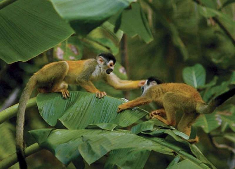 squirrel monkeys on the osa peninsula