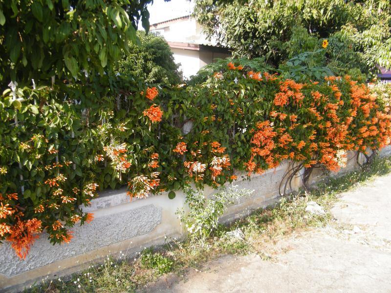 Le mur devant la maison en ville, recouvert de fleurs.