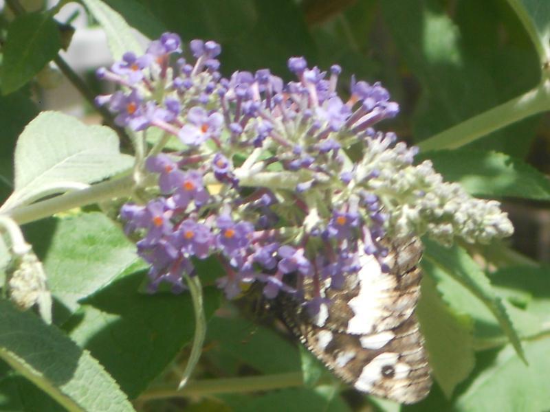 Arbre à papillons