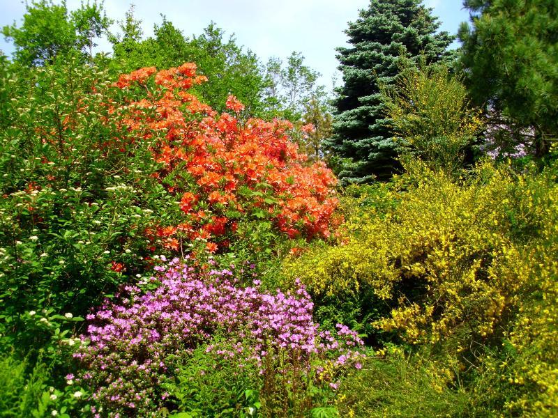 Kvetoucí azalky - znak jara