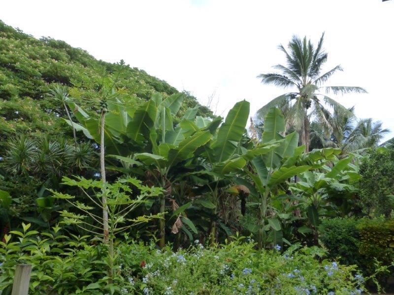 Papaya and Banana Trees