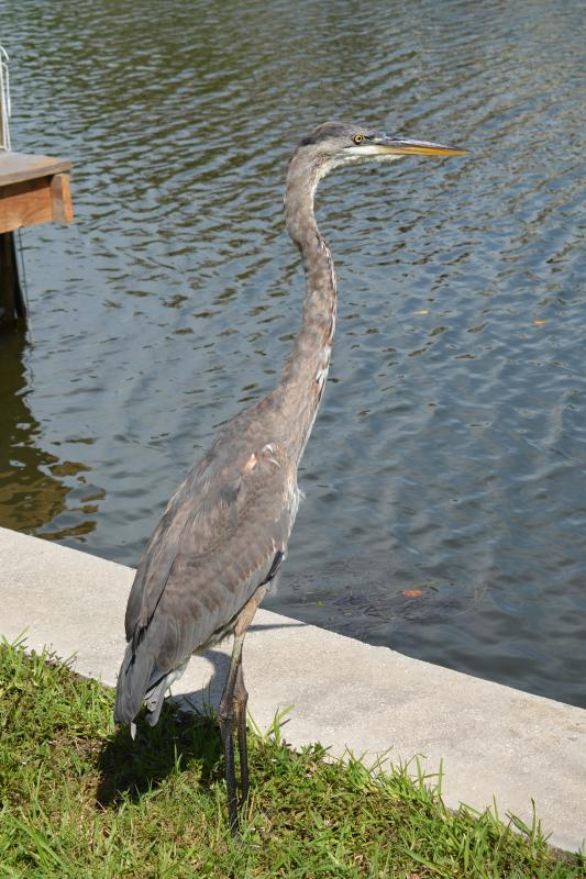 Our neighborhood heron
